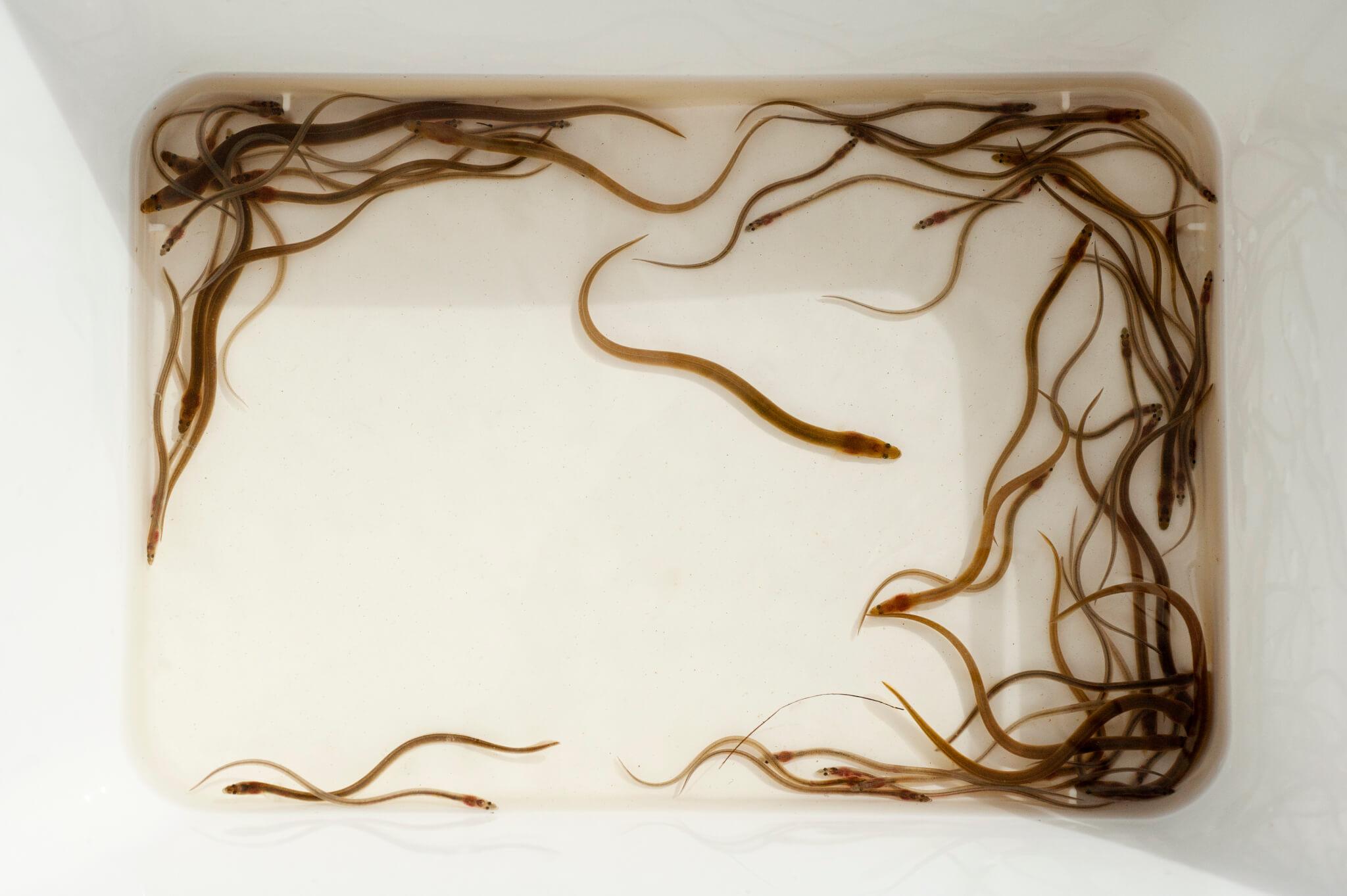 Anguilles jaunes et civelles en cours de pigmentation (Crédit photo Laurent Madelon)