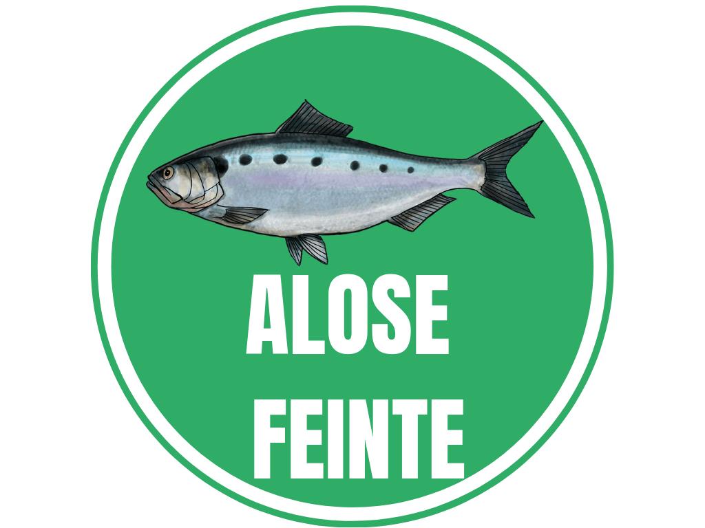 ALOSE FEINTE