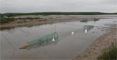 Modèle de type de piège non létal utilisé sur les plans d'eaux en 2019. Verveux doubles à paradière (source Irstea) : P. Paradière, A. Chambre amont, B. Chambre aval
