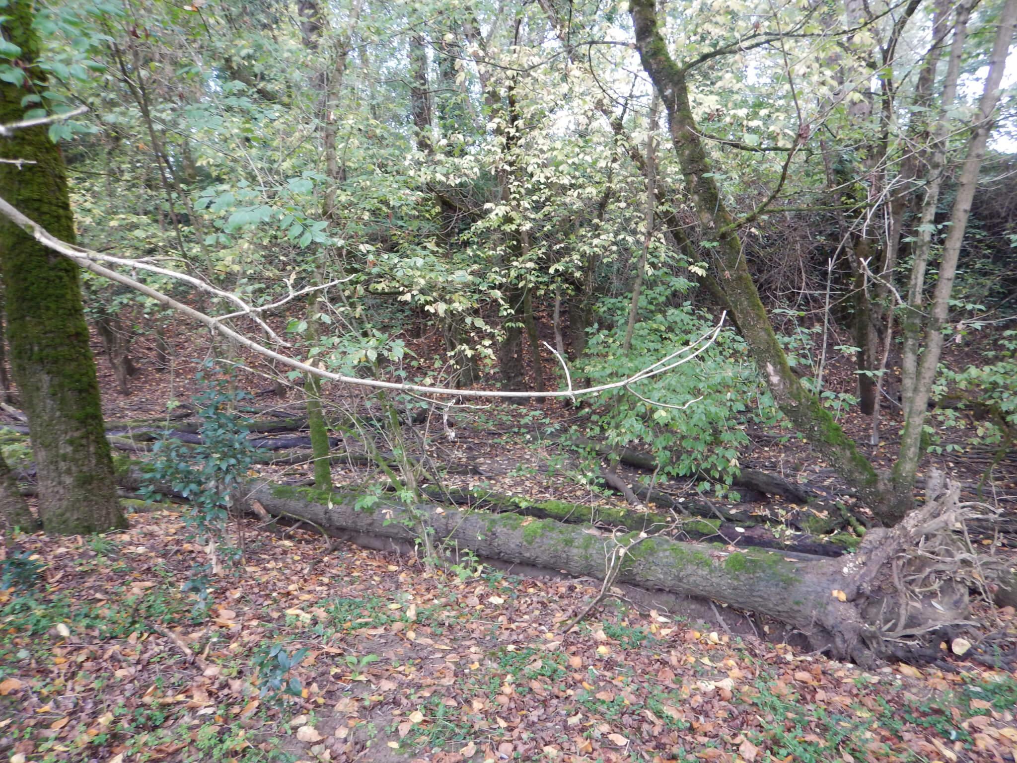 Avant l'enlèvement des troncs d'arbres morts gênants dans l'annexe hydraulique